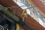 Rhesus Monkey on Power Lines