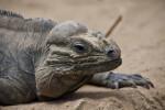 Rhino Iguana Detail