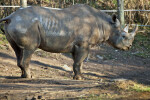 Rhino Side View