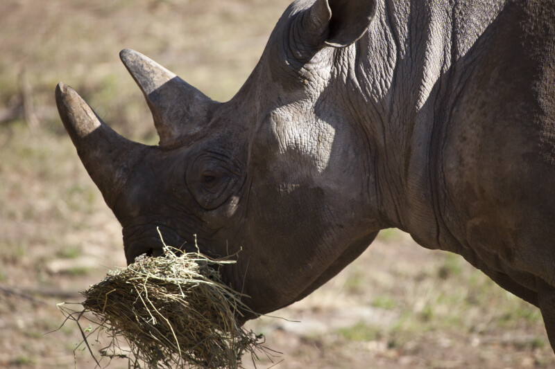 Rhinoceros Eating Hay