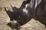 Rhinoceros Eating Hay