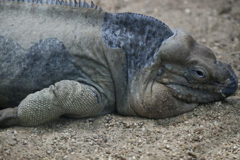 Rhinoceros Iguana Detail