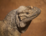 Rhinoceros Iguana Head