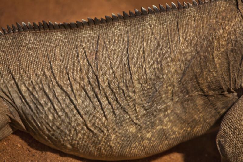 Rhinoceros Iguana Scales