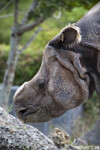 Left Side of a Rhinoceros' Head