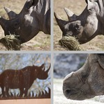 Rhinoceroses photographs