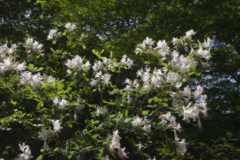 Rhododendron atlanticum Azalea