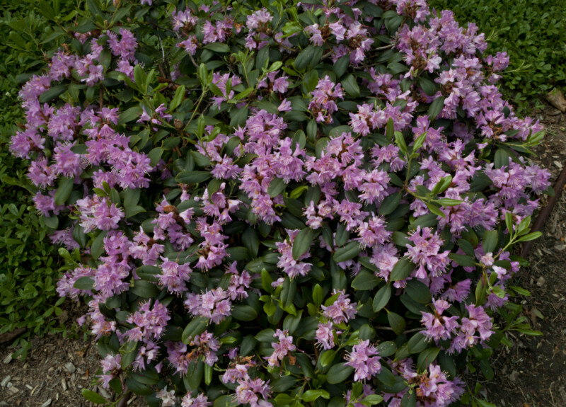 Rhododendron 'Waltham' Shrub at the Arnold Arboretum of Harvard University