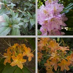 Rhododendrons photographs