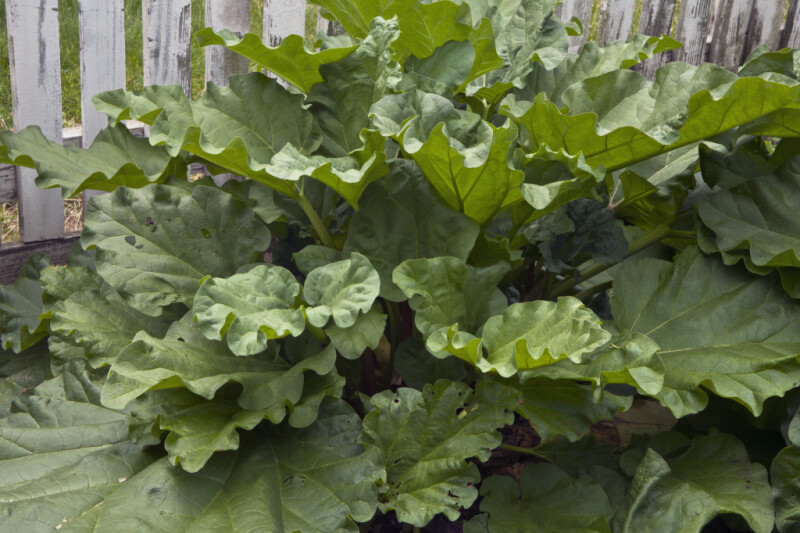 Rhubarb Leaves Close-Up