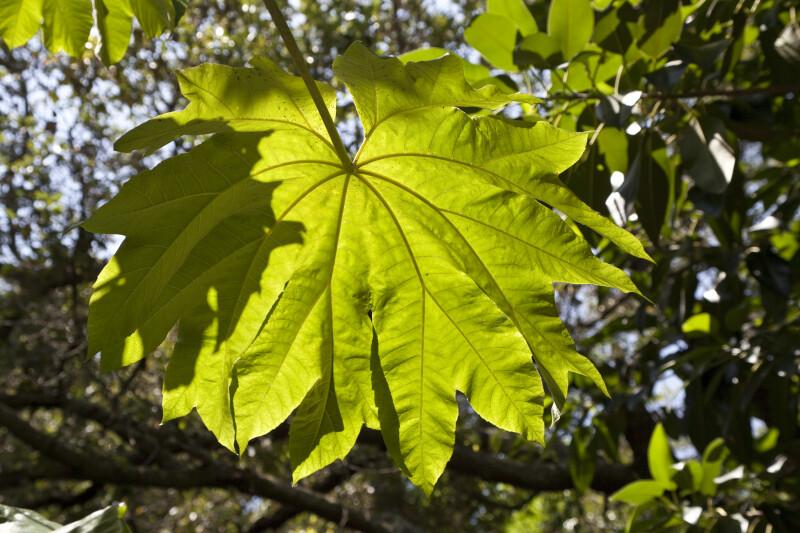 Rice Paper Plant Leaf