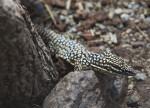 Ridge-Tailed Monitor