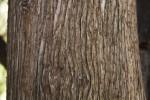 Ridged Bark of a Mourning Cypress Tree