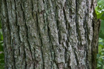 Ridged Trunk of a Bigleaf Linden