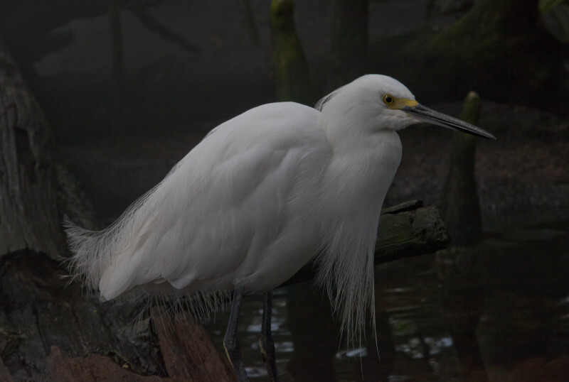 Right Side of a Snowy Egret at The Florida Aquarium