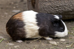 Right Side of Guinea Pig