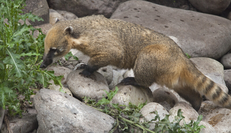 Ring-Tailed Coati Climbing on Rocks at the Artis Royal Zoo