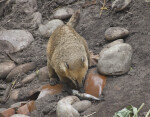 Ring-Tailed Coati Digging in Dirt at the Artis Royal Zoo