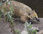 Ring-Tailed Coati Stalking Prey at the Artis Royal Zoo