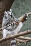 Ring-Tailed Lemur Consuming Apple