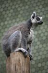 Ring-Tailed Lemur Crouching