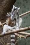 Ring-Tailed Lemur Eating Apple