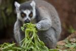 Ring-Tailed Lemur Eating Vegetation
