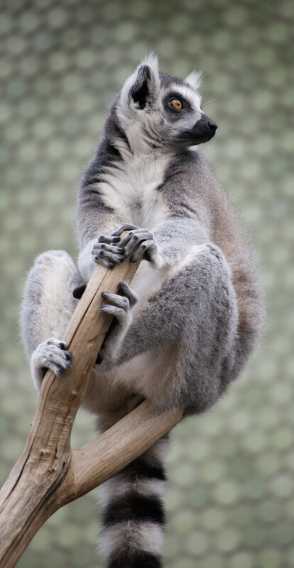 Ring-Tailed Lemur Hands and Feet