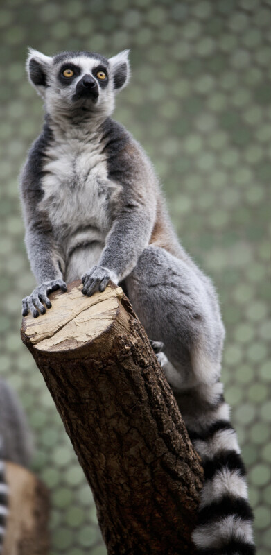 Ring-Tailed Lemur Hands