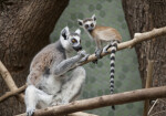 Ring-Tailed Lemur Licking
