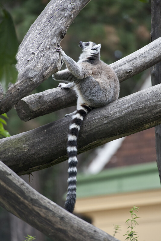 Ring-Tailed Lemur Looking Up