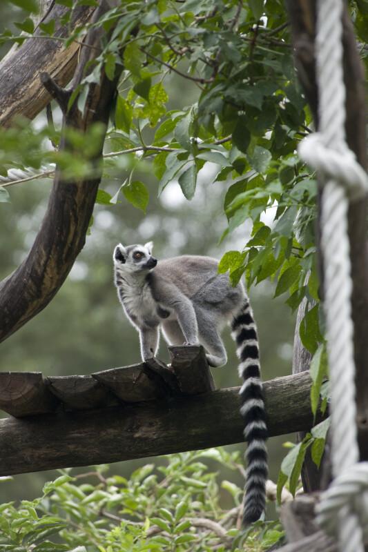Ring-Tailed Lemur on Platform