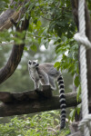 Ring-Tailed Lemur on Platform