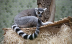 Ring-Tailed Lemur on Wicker Basket
