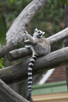 Ring-Tailed Lemur Resting