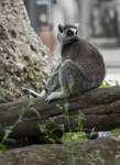 Ring-Tailed Lemur Sitting