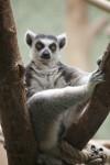 Ring-Tailed Lemur Sitting