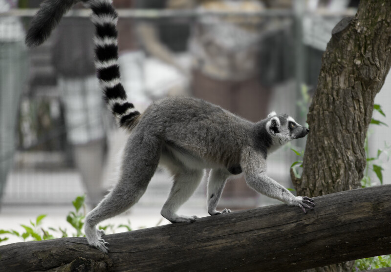 Ring-Tailed Lemur Walking