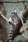 Ring-Tailed Lemur with Hind Leg Raised