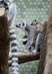 Ring-Tailed Lemurs Side View