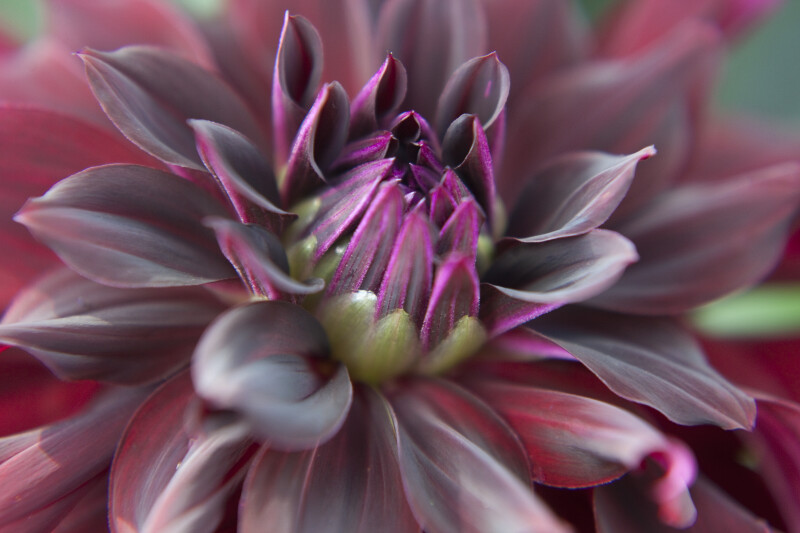"""Rip City"" Dahlia Close-Up"