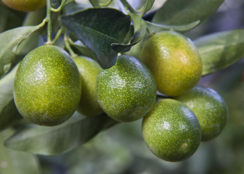 Ripening Meiwa Kumquat