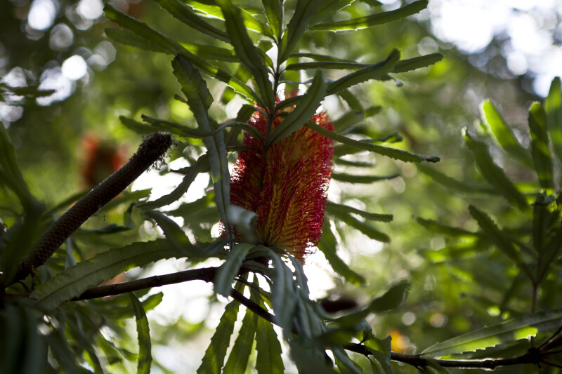 River Banksia Flower Between Leaves