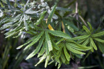 River Banksia Leaves