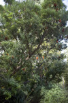 River Banksia Tree