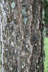River Birch Bark