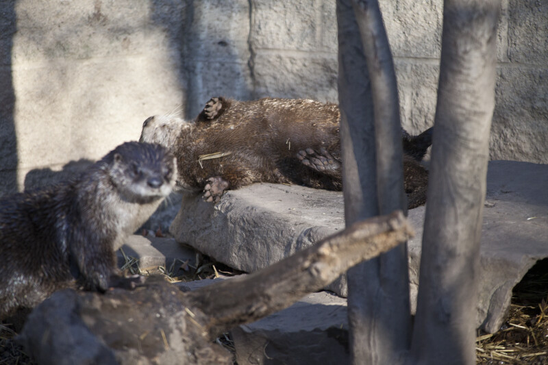 River Otter on Its Back