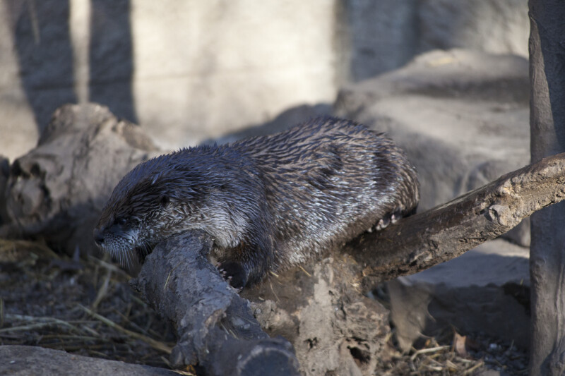 River Otter Relaxing