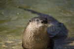 River Otter Squinting