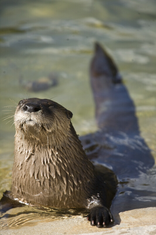 River Otter with Eyes Shut
